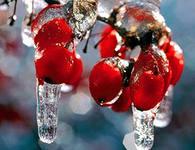 Рябина – род растений, относящихся к семейству разноцветных