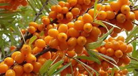 Что знаете вы об облепихе? Известно ли вам о целебных свойствах этого растения? Как лекарственное средство облепиху применя